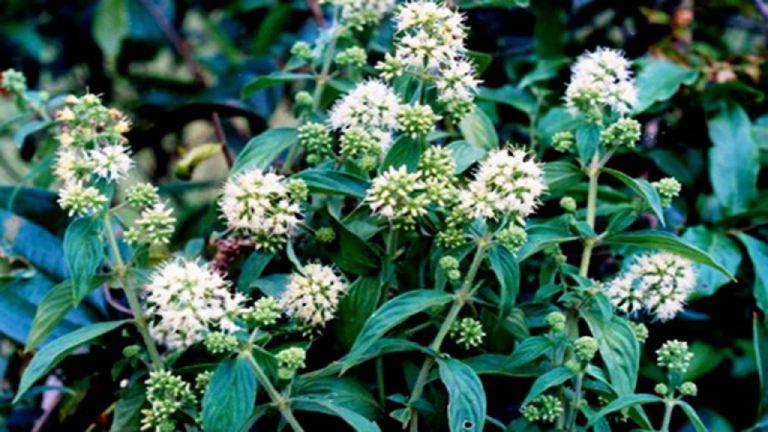 Bài thuốc từ cây dạ cẩm